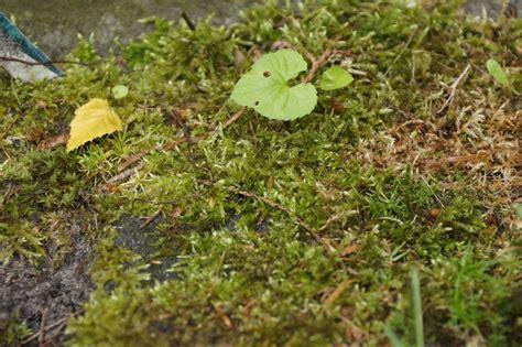 Moos Im Rasen Entfernen  So Werden Sie Das Moos Los