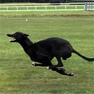 Cheetah vs Greyhound - World's Fastest Dog In Super Slow ...
