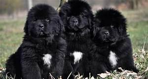 ¡Sorprendente! Esta son las 10 razas de perros mas grandes del mundo
