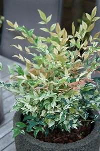 Arbuste À Feuillage Persistant : le nandina sensation twilight est un petit arbuste ~ Melissatoandfro.com Idées de Décoration