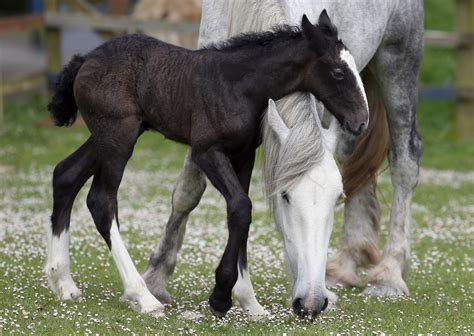 shire horse foal rare horses head animal mother wild appearance makes rest week filly most orla named views mommy zimbio