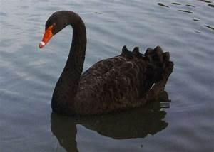Black Swan. | Bird Watching. | Pinterest