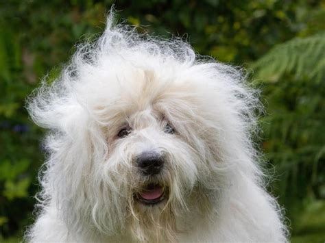 Old English Sheepdog risks extinction as breed records ...