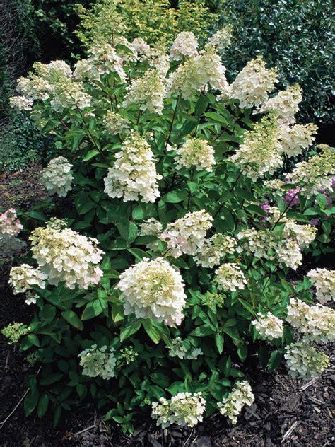 pruning bushes how to prune early flowering shrubs hgtv