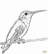 Coloring Hummingbird Throated Ruby Printable Hummingbirds Categories sketch template