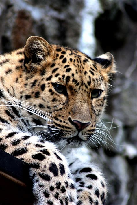 picture leopard wild cat animal animal