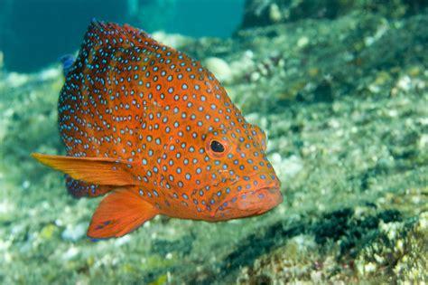 grouper spotted closeup laman tim