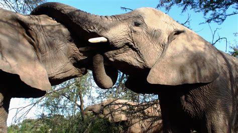 stock photo  animal elephant ivory