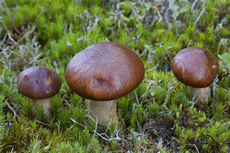 roehrling giftig die wichtigsten  pilztipps fuer