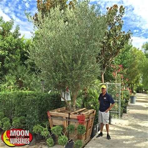cost of olive trees a spec fruitless olive
