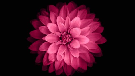 Flower Iphone Black Background Wallpaper by Pink Flower Black Background 1 Wallpaperfool