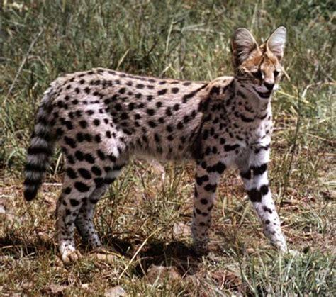Serval Cat Pictures  Cat Pictures