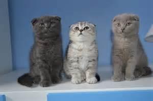 scottish fold cats for scottish fold kittens for peterborough