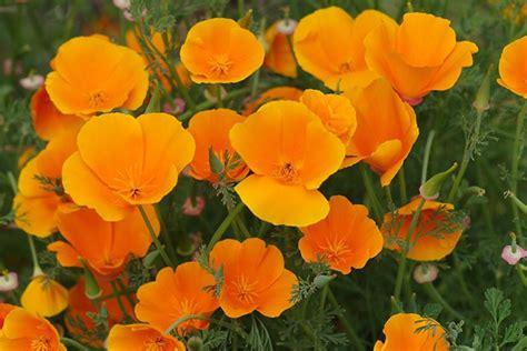Garten Mohn Pflanzen by Kalifornischer Mohn Gartentechnik De