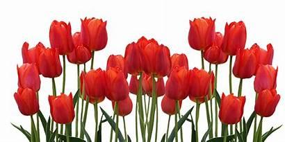 Flevoland Tulip Tulipanes Tulpenroute Teeuwen Nieuws Route