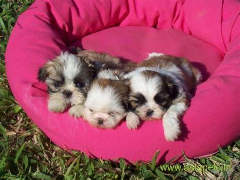 lhasa apso puppies  sale  vadodara   price