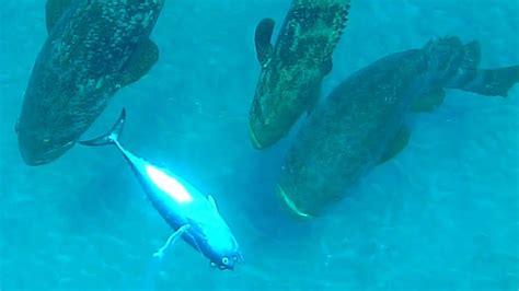 grouper giant eats