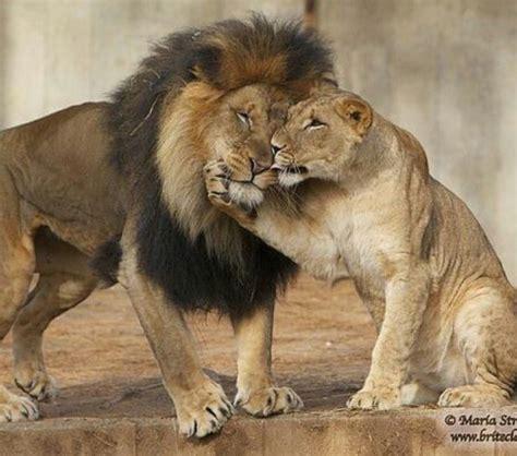 lion lioness cub cute animals