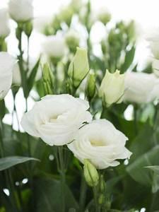 Welche Blumen Blühen Im August : lisianthus eustoma rosita white wei lisianthus blumen juni hochzeit blumen und ~ Orissabook.com Haus und Dekorationen