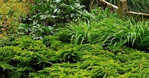 Emerald Spreader® Japanese Yew - can handle some shade ...