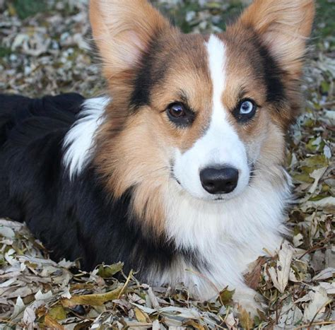 tri color corgi it s not often you see a tri color fluffy half blue