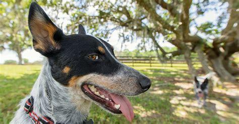 queensland heeler totally dog training