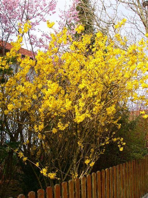 gelb blühender strauch gelb
