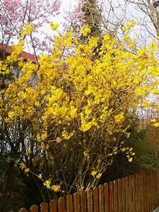 Busch Mit Gelben Blüten : mit blueten ~ Frokenaadalensverden.com Haus und Dekorationen