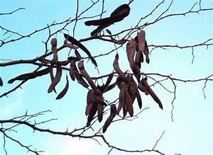 Baum Mit Langen Schoten : ich dachte ich seh nicht recht bohnen auf einem baum ~ Lizthompson.info Haus und Dekorationen