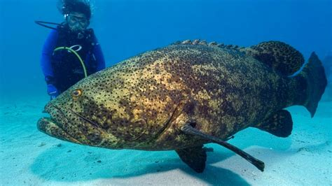 grouper goliath giant fish shark endangered massive species dangerous most diver jewfish key largo atlantic snatches ocean