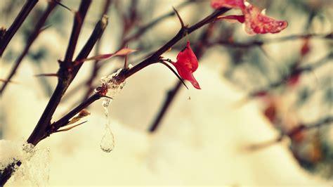 วอลเปเปอร์ : ธรรมชาติ, สีแดง, พืช, ฤดูหนาว, แมโคร, สาขา ...