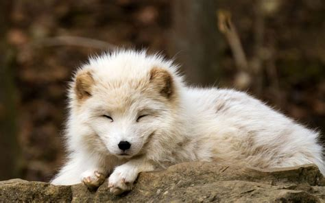 Wallpaper Nature Animals - nature animals baby animals fox arctic fox wallpapers