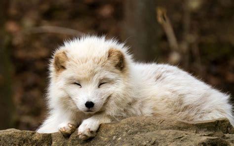 nature animals baby animals fox arctic fox wallpapers
