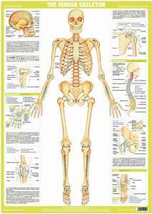 Human Skeleton Poster  U2013 Chartex Ltd