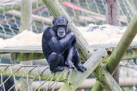 monkey world ape rescue centre wareham bournemouthcom