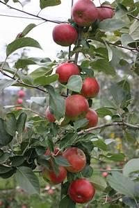Apfelbaum Hochstamm Kaufen : apfel paradis lummerland malus frisch aus der baumschule kaufen ~ Orissabook.com Haus und Dekorationen