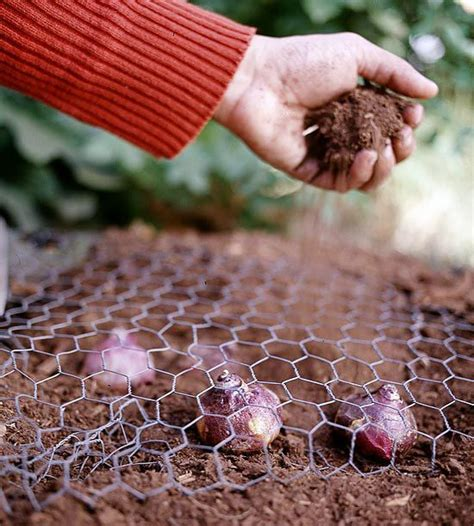 tips for planting your favorite bulbs chicken wire