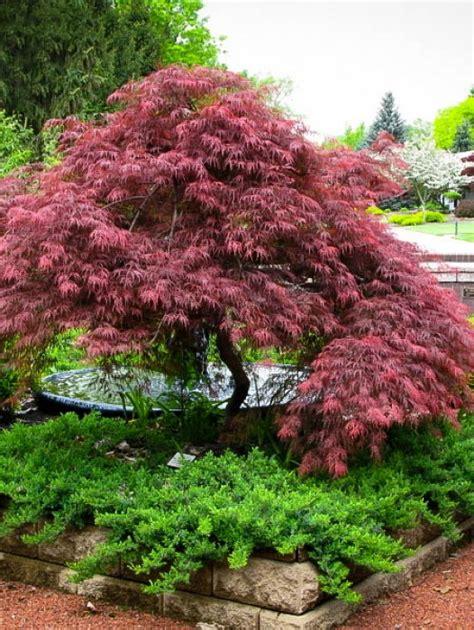 japanese maple  tree center