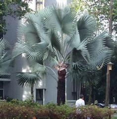 palma roja jardines plantas cactus pinterest With wonderful amenagement de piscine exterieur 10 exterieur distinction renovation