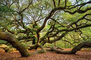 Charleston Sc Angel Oak Tree South Carolina Landscape