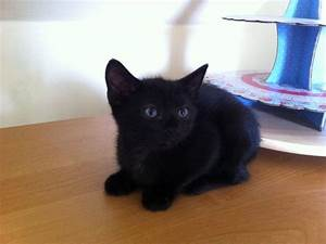 BEAUTIFUL BABY BOY BLACK KITTEN | Lytham St Annes ...