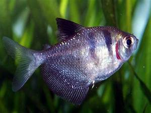 Profile of the Black skirt tetra (Gymnocorymbus ternetzi ...