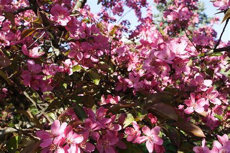 trees that pink flowers pink flowering trees bing images