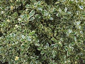 Different Types Of Holly Bushes Pictures to Pin on ...