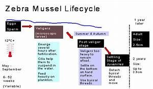 Zebra Mussels Diagram