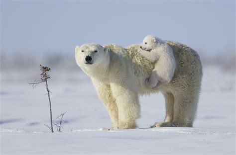 Mama Polar Bear And Her Cub Hd Wallpaper