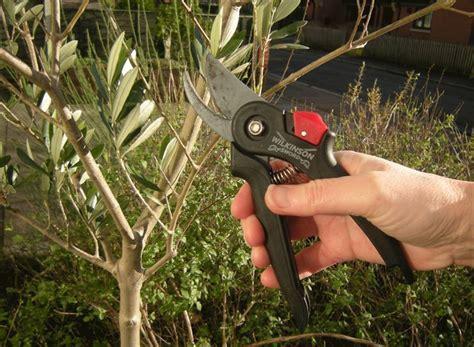 ulivo in vaso ulivo in vaso piante da giardino coltivare ulivi in vaso