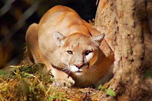 Mountain Lion | Interesting Facts & Pictures | Animals Lover