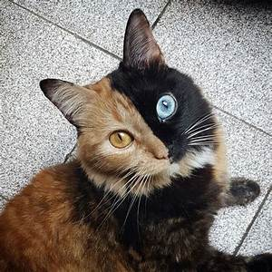 Beautiful Chimera Cat Has Half Black Face With Blue Eye ...