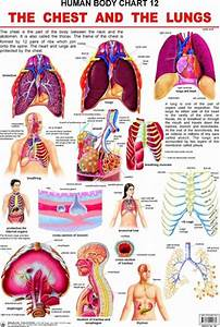 Human Body Chart   The Chest And The Lungs By Dreamland